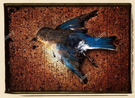Oiseau bleu mort.jpg